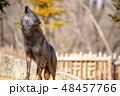 イヌ科 タイリクオオカミ ハイイロオオカミの写真 48457766