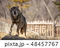イヌ科 タイリクオオカミ ハイイロオオカミの写真 48457767