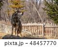 イヌ科 タイリクオオカミ ハイイロオオカミの写真 48457770