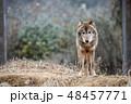 イヌ科 タイリクオオカミ ハイイロオオカミの写真 48457771