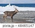 エゾシカ 冬 シカの写真 48465147