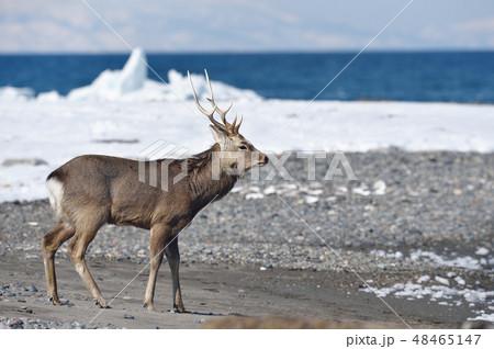 冬の山と海を背景にしたエゾシカ(北海道・野付半島) 48465147