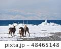 エゾシカ 冬 シカの写真 48465148