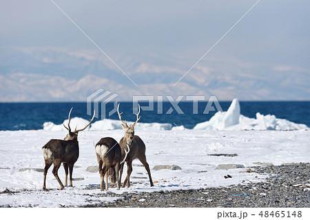冬の山と海を背景にしたエゾシカ(北海道・野付半島) 48465148