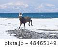 エゾシカ 冬 シカの写真 48465149