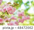 八重桜 桜 植物の写真 48472002