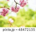 八重桜 桜 植物の写真 48472135