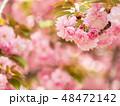八重桜 桜 植物の写真 48472142