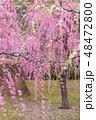 枝垂れ梅 梅 花の写真 48472800
