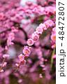 枝垂れ梅 梅 花の写真 48472807