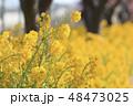 菜の花 花 春の写真 48473025