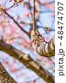 河津桜 蕾 春の写真 48474707