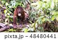 野生の子供オランウータン 48480441