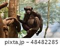 チンパンジー 48482285