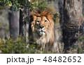 ライオン 48482652