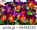 ビオラ 花 植物の写真 48488283