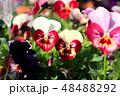ビオラ 花 植物の写真 48488292