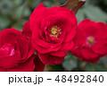 バラ 花 薔薇の写真 48492840
