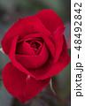 バラ 花 薔薇の写真 48492842