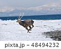 エゾシカ 冬 シカの写真 48494232