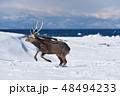 エゾシカ 冬 シカの写真 48494233