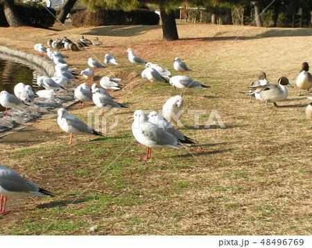 池から上がって餌をついばむ渡り鳥のユリカモメとオナガドリ 48496769