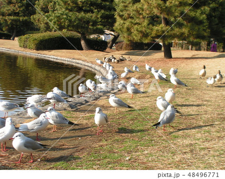 池から上がって餌をついばむ渡り鳥のユリカモメとオナガドリ 48496771