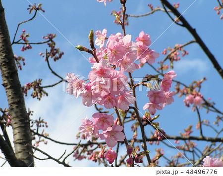 五分咲きの稲毛海岸駅前カワヅザクラの花 48496776
