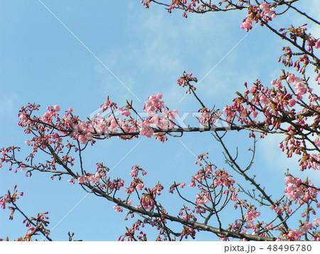 五分咲きの稲毛海岸駅前カワヅザクラの花 48496780