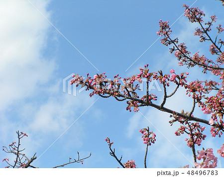 五分咲きの稲毛海岸駅前カワヅザクラの花 48496783