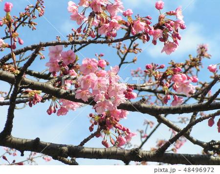 五分咲きの稲毛海岸駅前カワヅザクラの花 48496972