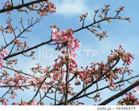 五分咲きの稲毛海岸駅前カワヅザクラの花 48496974