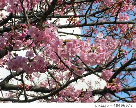 五分咲きの稲毛海岸駅前カワヅザクラの花 48496975