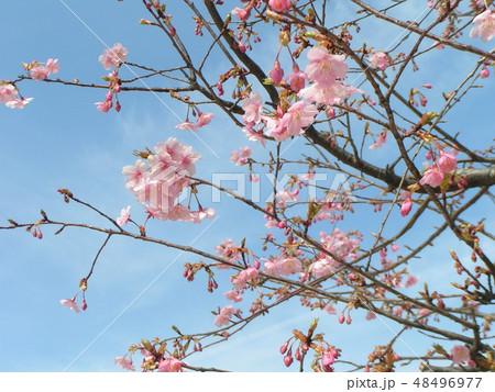五分咲きの稲毛海岸駅前カワヅザクラの花 48496977
