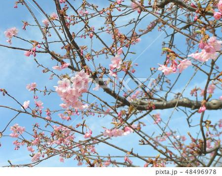 五分咲きの稲毛海岸駅前カワヅザクラの花 48496978