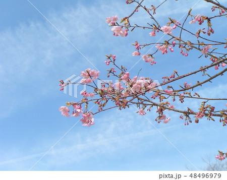 五分咲きの稲毛海岸駅前カワヅザクラの花 48496979