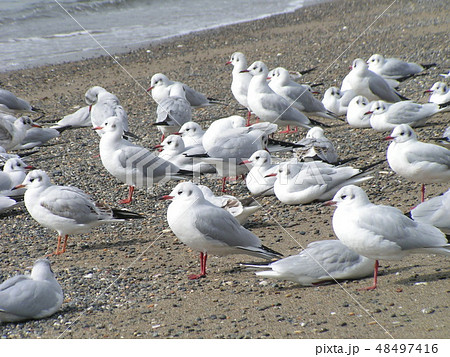 稲毛海岸で一休み中のユリカモメの一団 48497416