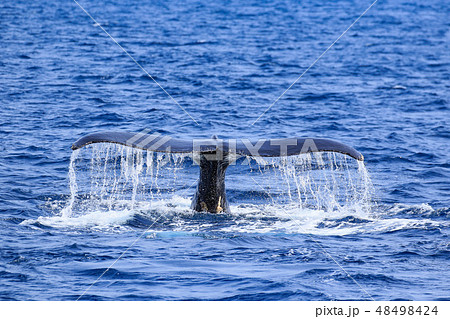 残波岬沖のザトウクジラ 48498424
