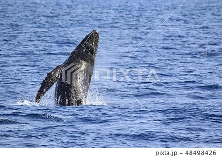 残波岬沖のザトウクジラ 48498426
