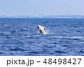 残波岬沖のザトウクジラ 48498427