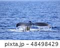 残波岬沖のザトウクジラ 48498429