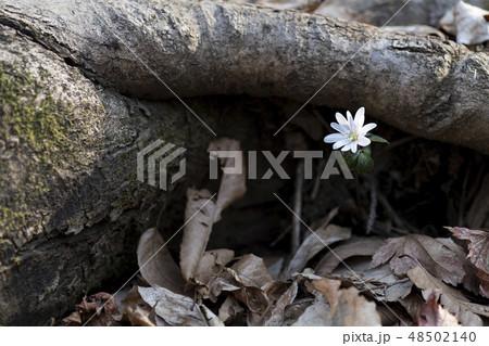 春 春の花 野生の花 48502140