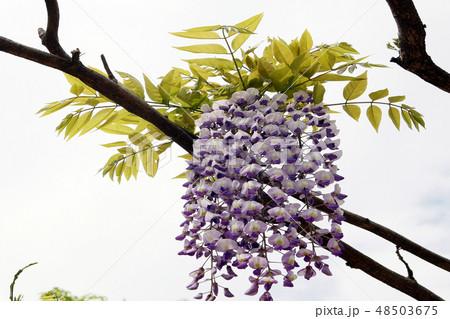 藤 夏の花 48503675