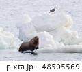 流氷に集うトドとカモメ 48505569