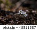 花 野生の花 白の写真 48511687