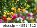 Citrus growing on street of Capri, Italy 48514312