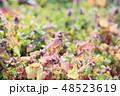 花 ヒメオドリコソウ 草花の写真 48523619