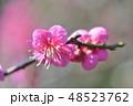 紅梅 梅 梅の花の写真 48523762