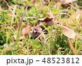 花 ヒメオドリコソウ 草花の写真 48523812