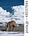 流氷 冬 エゾシカの写真 48537644